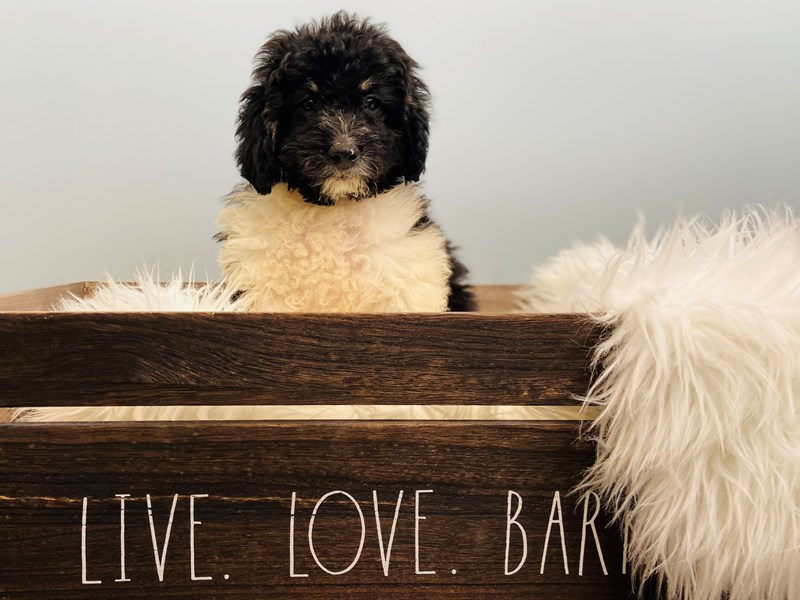 F1B Mini Bernadoodle-Male-Black Tri-3102271-The Barking Boutique