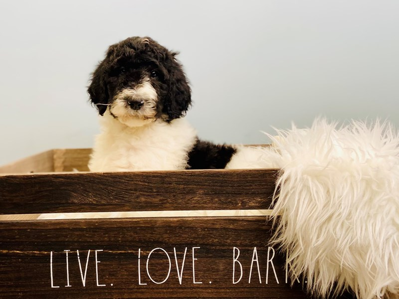 Standard Poodle-Male-Black & White-3102425-The Barking Boutique