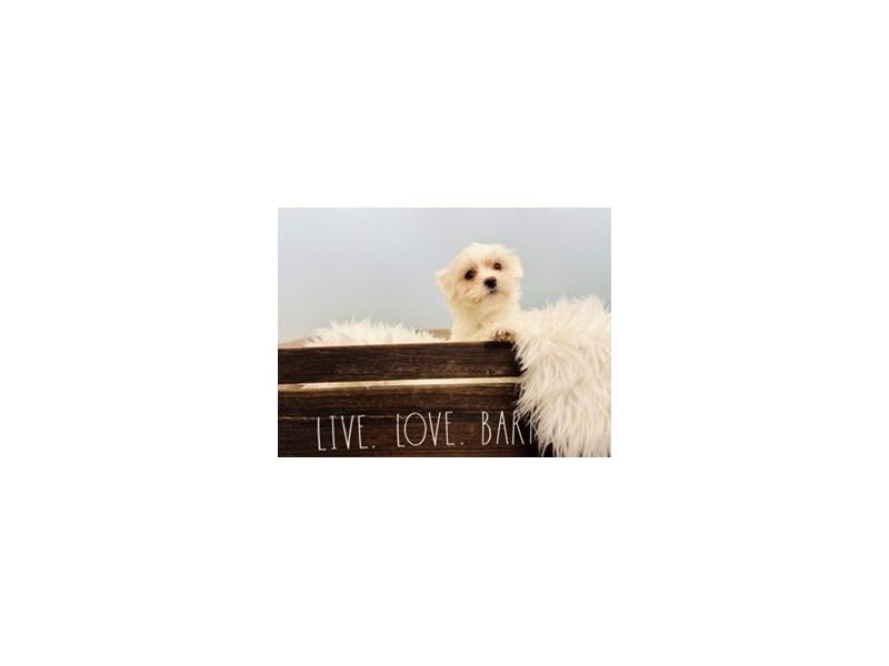Coton De Tulear-Male-White-3102583-The Barking Boutique