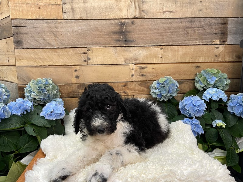 Standard Poodle-Male-Black and white-3102407-The Barking Boutique