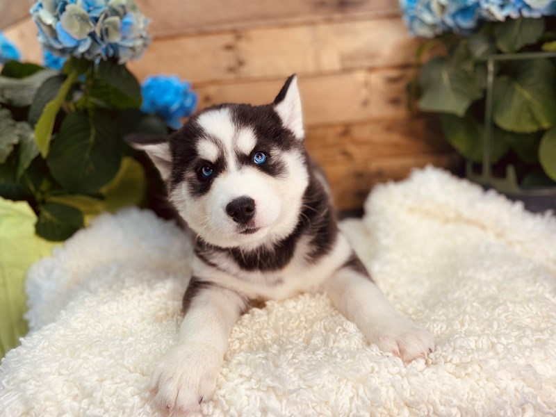 Siberian Husky-Female-Black / White-3106238-The Barking Boutique