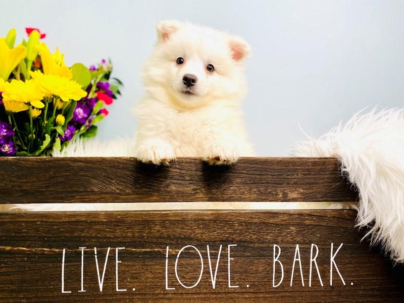 American Eskimo Dog – Lynn
