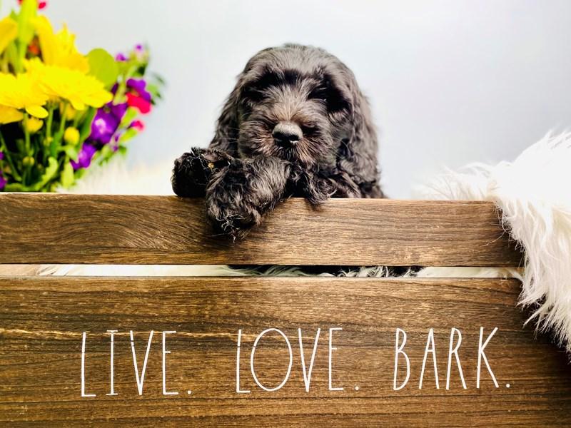 Goldendoodle 2nd Gen-Female-Black-3106241-The Barking Boutique