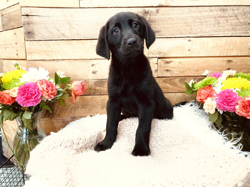 Labrador Retriever-Female-Black-3113679-The Barking Boutique