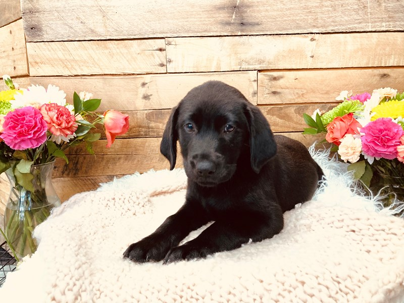 Labrador Retriever-Female-Black-3113676-The Barking Boutique