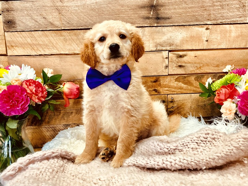 Mini Goldendoodle-Male-Golden-3113532-The Barking Boutique
