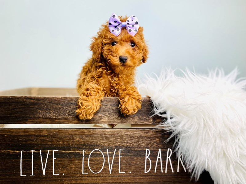 Poodle-Female-Red-3116758-The Barking Boutique