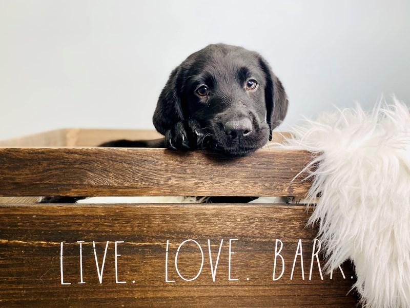 Labrador Retriever – Cookie Crisp