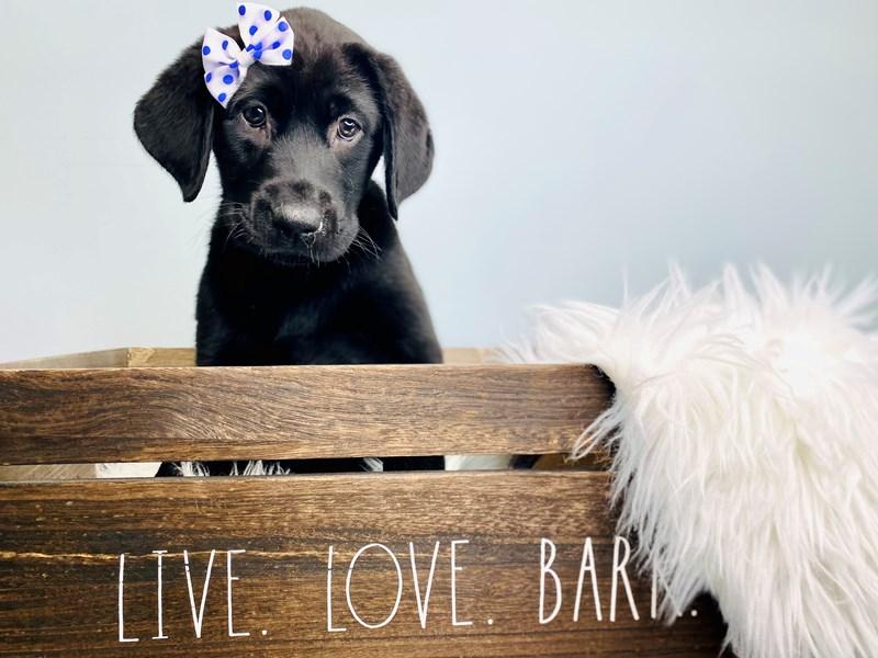 Labrador Retriever-Female-Black-3113597-The Barking Boutique