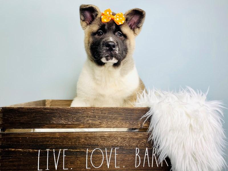 Akita-Female-Brown & White-3112726-The Barking Boutique