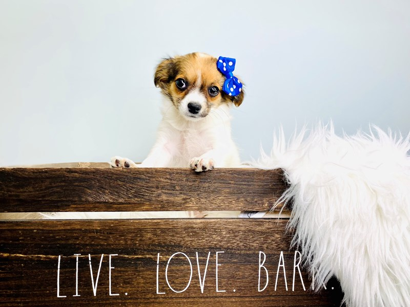 Chihuahua-Female-Brown & White-3112781-The Barking Boutique