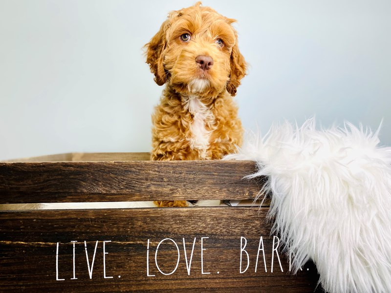 Cockapoo-Male-Brown-3112892-The Barking Boutique