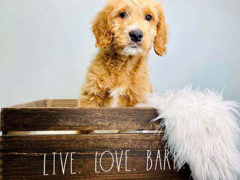 F1B Mini Goldendoodle-Male-Apricot-3113044-The Barking Boutique