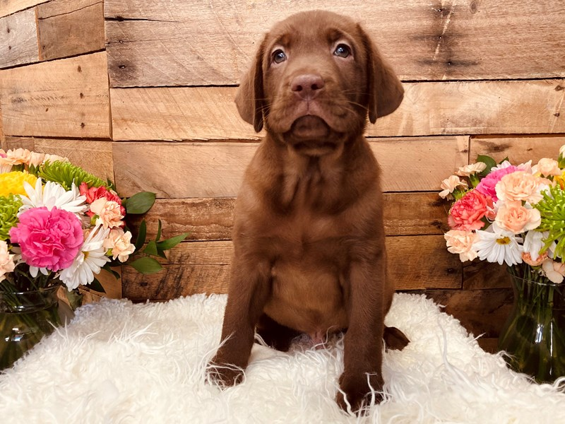 Labrador Retriever-Male-Chocolate-3116770-The Barking Boutique