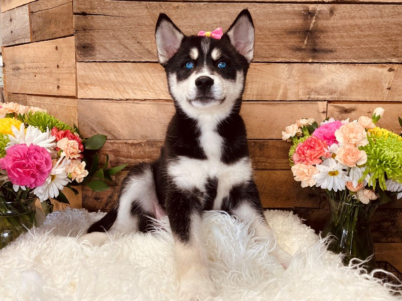 Siberian Husky-Female-Black / White-3116766-The Barking Boutique