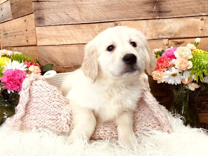 Golden Retriever-Male-Cream-3116828-The Barking Boutique
