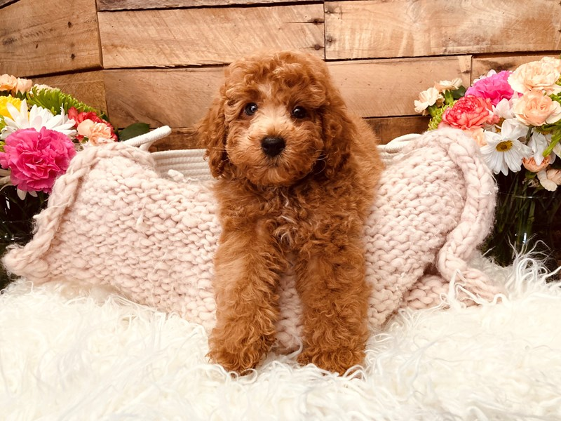 Poodle-Male-Red-3116761-The Barking Boutique