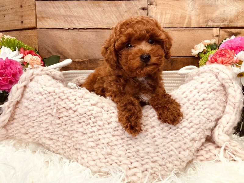 Poodle-Male-Red-3116760-The Barking Boutique