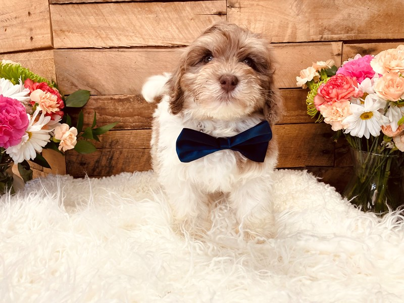 Havapoo-Male-Chocolate / White-3116823-The Barking Boutique