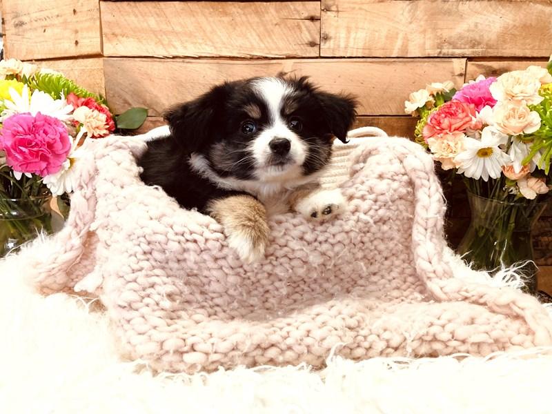 Australian Shepherd-Male-Black / White-3116773-The Barking Boutique