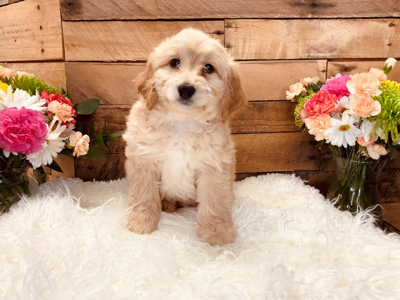 Goldendoodle Mini 2nd Gen-Male-Apricot-3116756-The Barking Boutique
