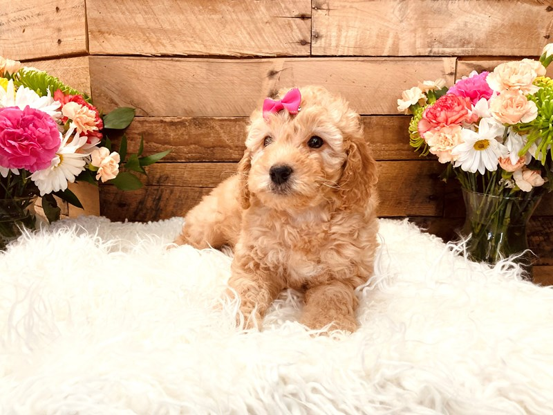 Goldendoodle Mini 2nd Gen-Female-Apricot-3116755-The Barking Boutique