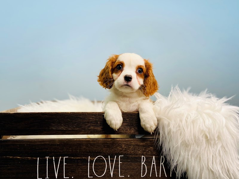 Cavalier King Charles Spaniel-Male-Blenheim-3124011-The Barking Boutique