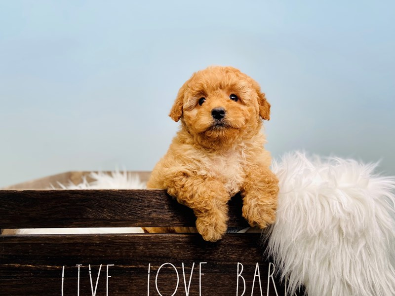 F1B Mini Goldendoodle-Female-Apricot-3124132-The Barking Boutique