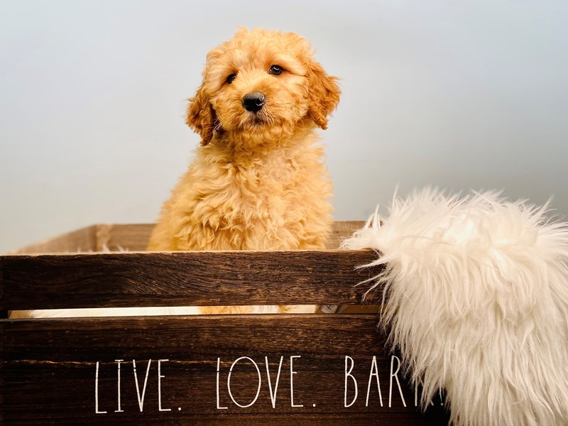 Mini Goldendoodle-Male-Apricot-3124020-The Barking Boutique