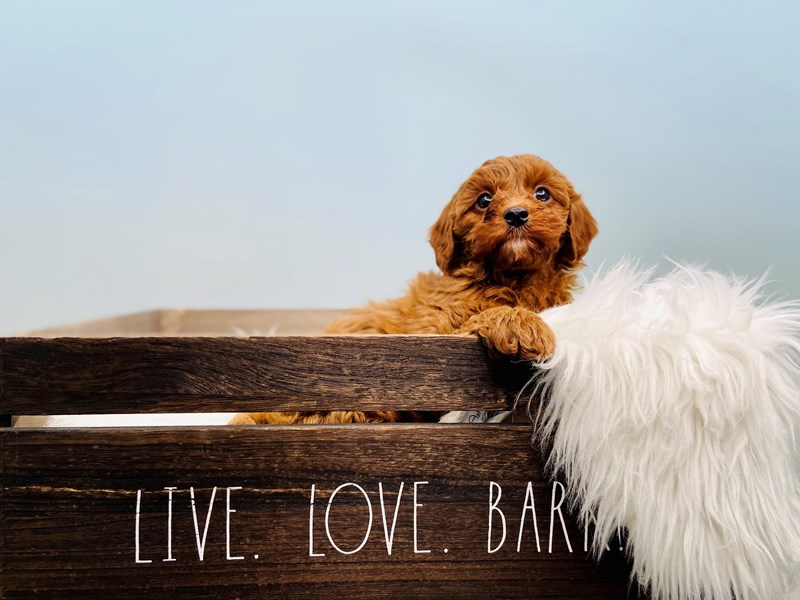 F1b Cavapoo-Female-Red-3124120-The Barking Boutique