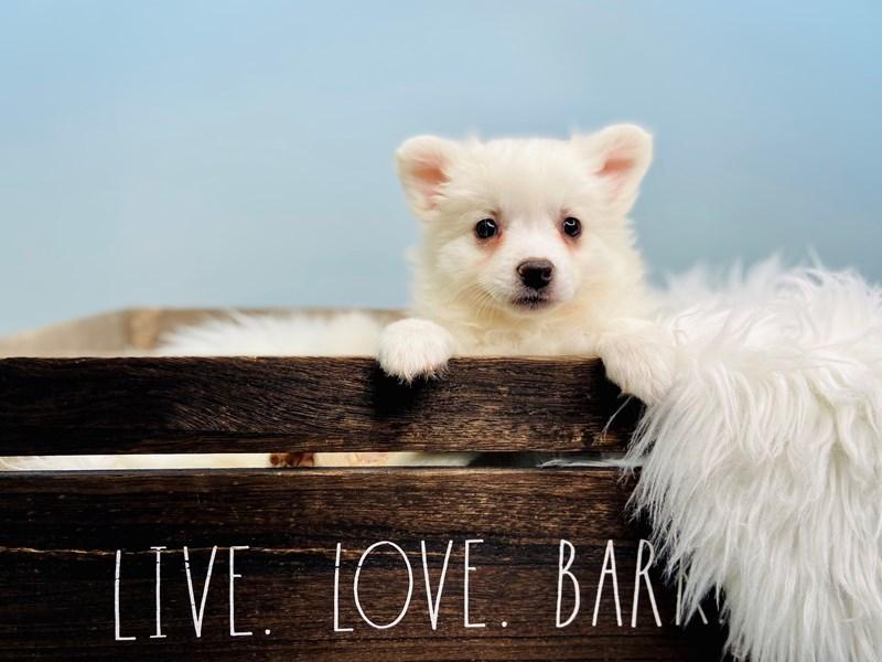 American Eskimo-Female-White-3123898-The Barking Boutique