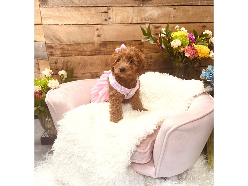F1B Mini Goldendoodle-Female-Golden-3124262-The Barking Boutique