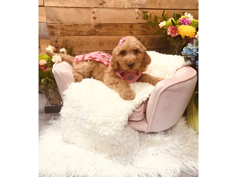 Labradoodle-Female-Red and White-3124224-The Barking Boutique