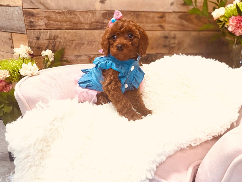 F1b Cavapoo-Female-Red-3124306-The Barking Boutique