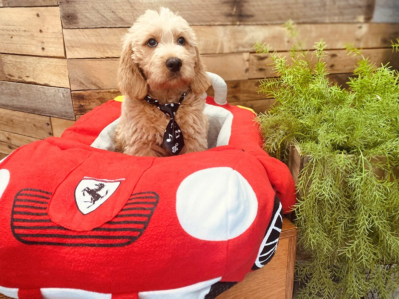 Labradoodle-Male-Red-3124221-The Barking Boutique
