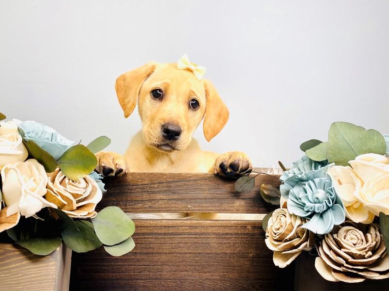 Labrador Retriever-Female-Yellow-3127519-The Barking Boutique
