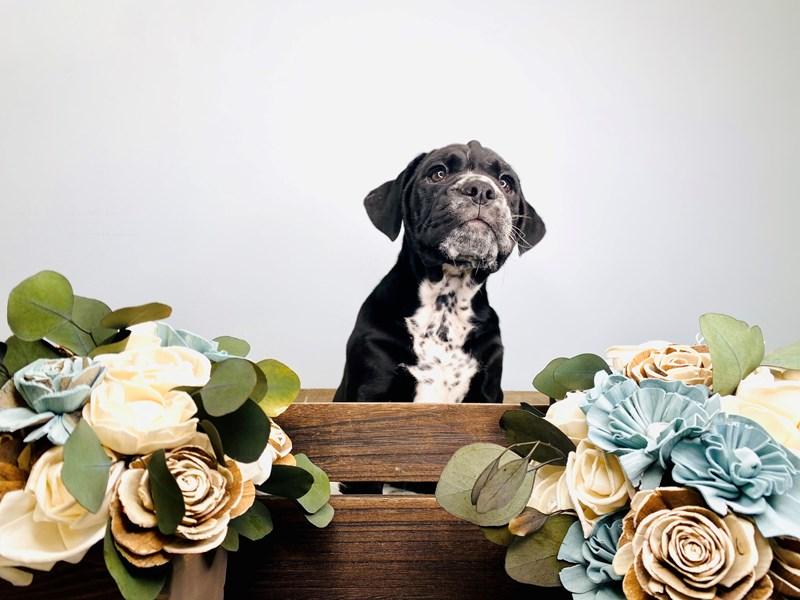 Bullmatian-Male-Black-3127618-The Barking Boutique