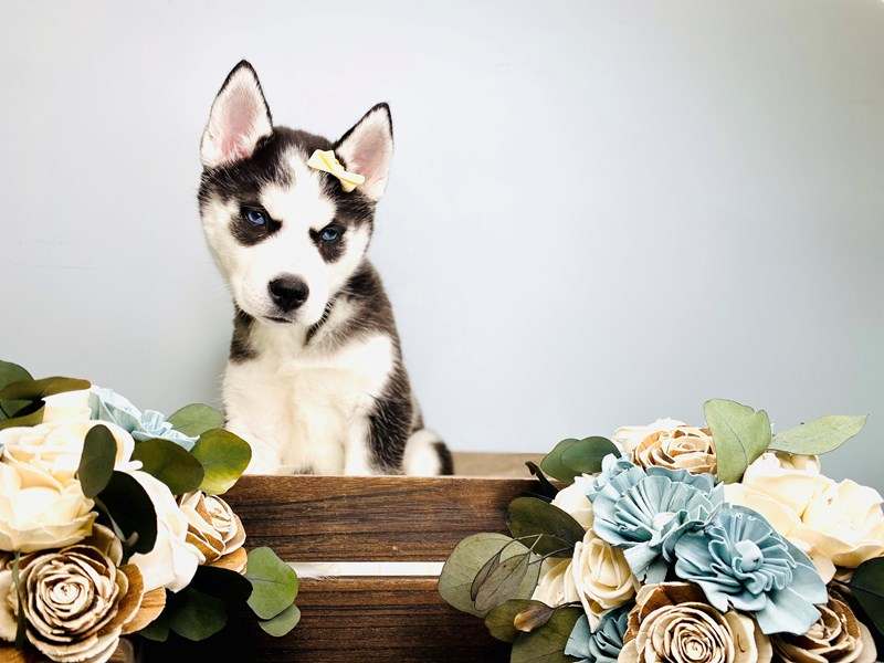 Siberian Husky-Female-Black / White-3127665-The Barking Boutique