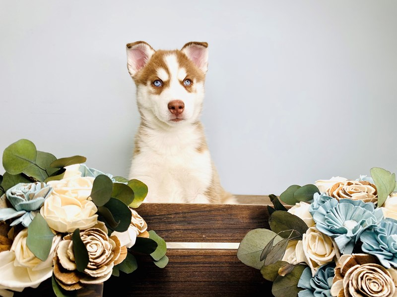 Siberian Husky – Nappa