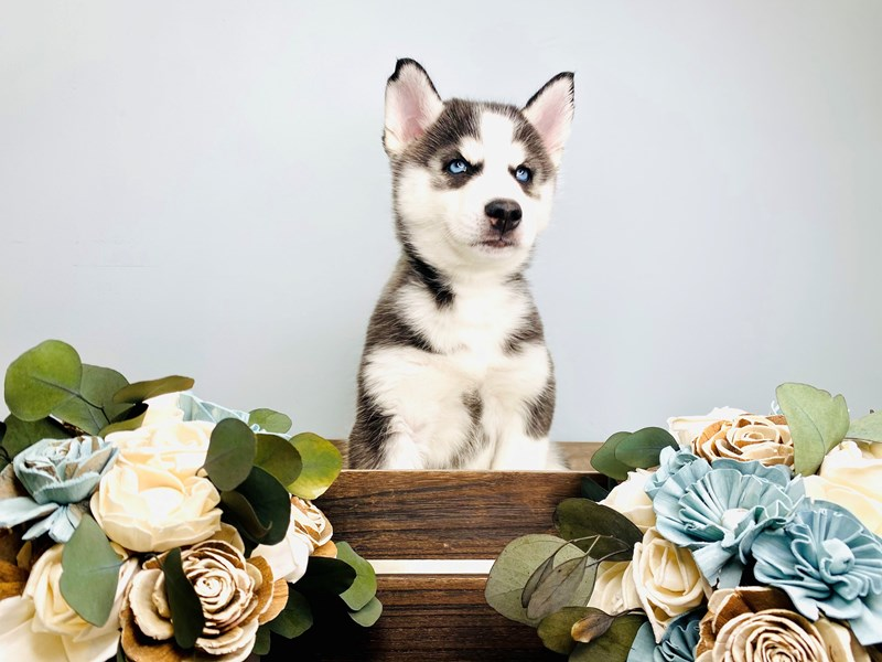 Siberian Husky-Male-Black / White-3127518-The Barking Boutique