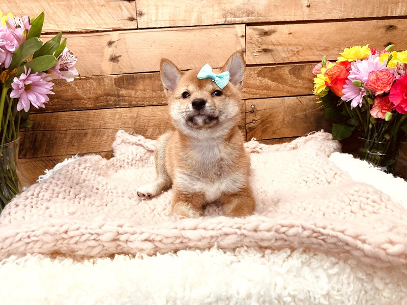 Shiba Inu-Female-Red-3127516-The Barking Boutique