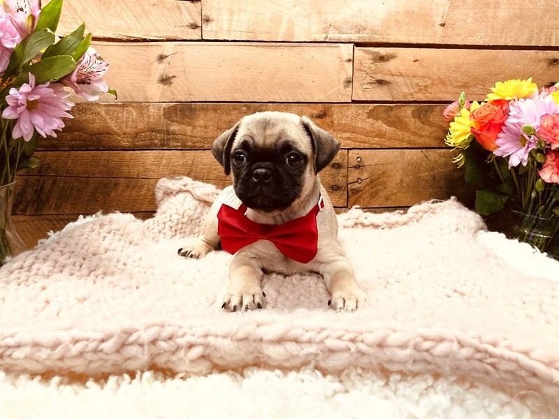 Pug-Male-Fawn-3127510-The Barking Boutique