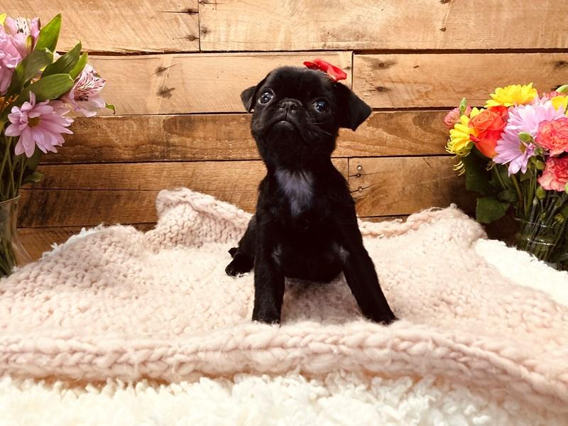 Pug-Female-Black-3127508-The Barking Boutique