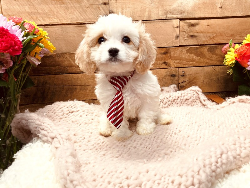 Cavachon-Male-Cream / White-3127521-The Barking Boutique