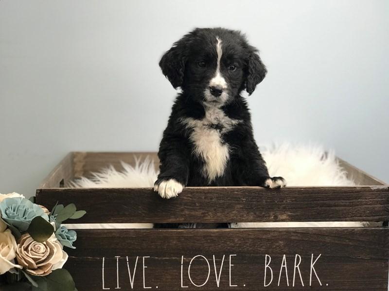 Mini Goldendoodle-Male-Black & White-3135352-The Barking Boutique