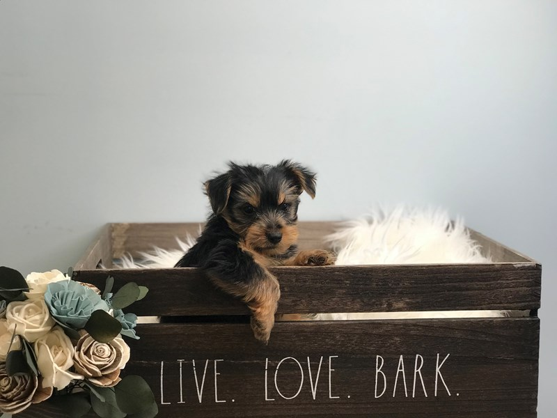 Yorkshire Terrier-Male-Black & Tan-3135390-The Barking Boutique