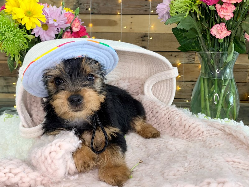Yorkshire Terrier-Male--3134702-The Barking Boutique