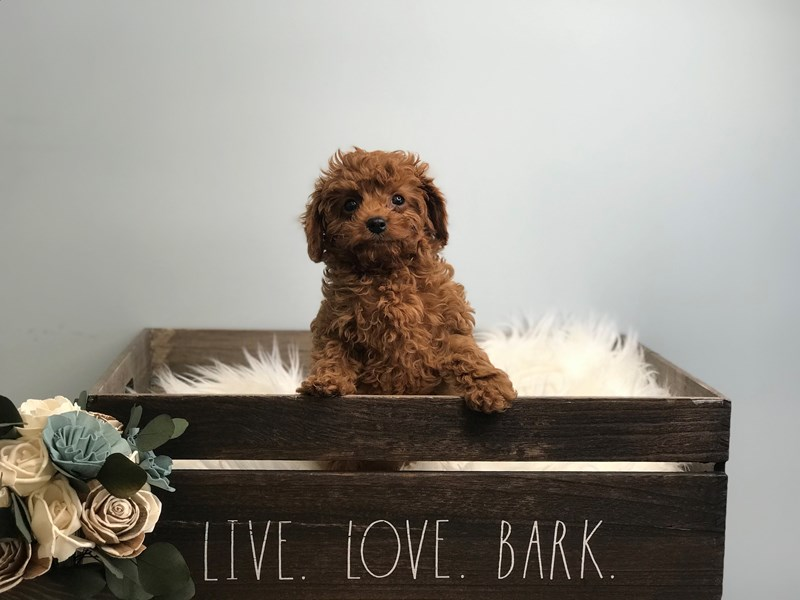 Cavapoo-Female-Red-3135340-The Barking Boutique