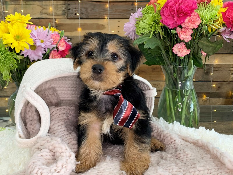 Yorkshire Terrier-Male-Tri- Color-3134698-The Barking Boutique