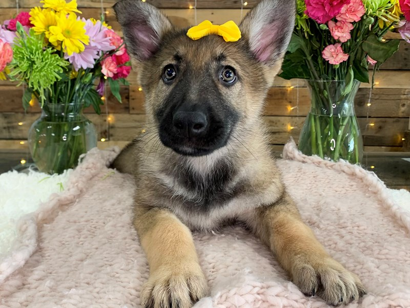 German Shepherd-Female-Black and Tan-3134586-The Barking Boutique